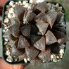 Haworthia Sugar Plum