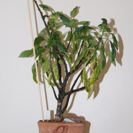 Дорстения Dorstenia zansibarica
