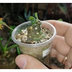 Дорстения Dorstenia foetida 2