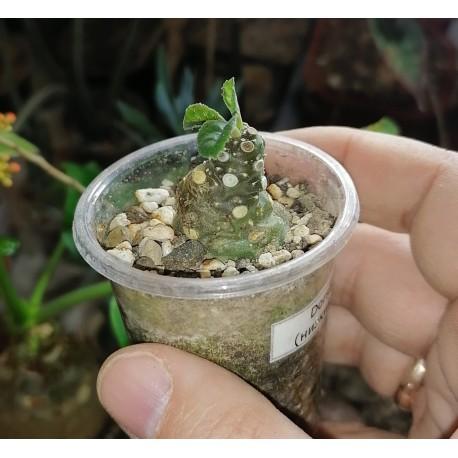 Дорстения Dorstenia foetida 2 см