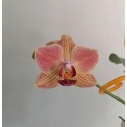 Фаленопсис красно-жёлтый