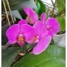 Фаленопсис лиловый