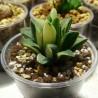 Haworthia pygmaea asperula variegata
