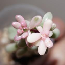 Sedum rubrotinctum Aurora