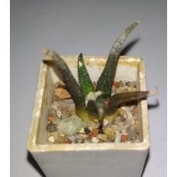 Ariocarpus agavoides