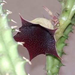 Huernia macrocarpa