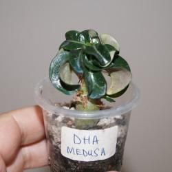 Адениум Adenium DHA