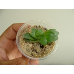 Haworthia mutica v.otzenii 5 см