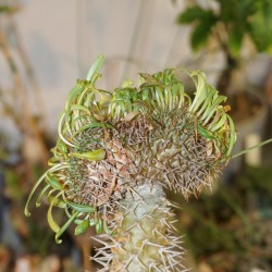 Pachypodium lamerei cristata