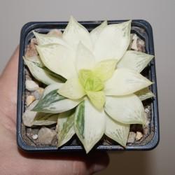 Haworthia cuspidata  variegata selected