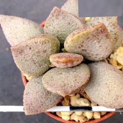 Adromischus marianae Silver Abalone