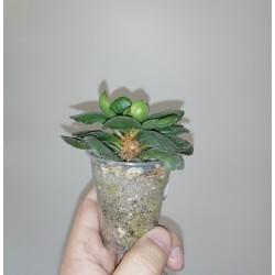 Adromischus cristatus Kaffidriff