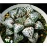 Haworthia Yukikeshiki splendens small