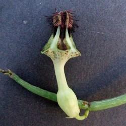 Ceropegia denticulata