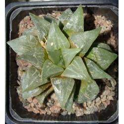 Haworthia mutica nigra