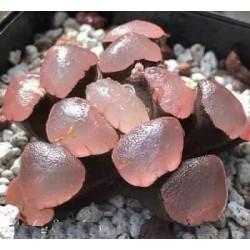 Haworthia maughanii Purple Lens