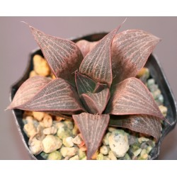 Haworthia splendens Love