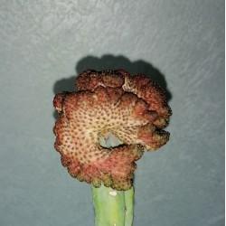 Sulcorebutia rauschii Violetn cristata