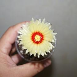 Astrophytum ASCAP Super Kabuto