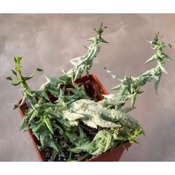 Ceropegia simoneae 'green bizarre form'