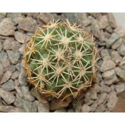 Coryphantha borwigii