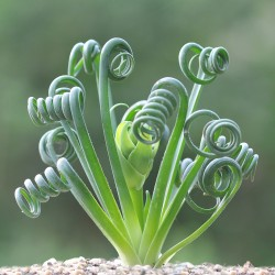 Альбука Albuca spiralis