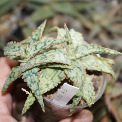 Aloe сортовое A5
