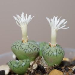Conophytum lambertense