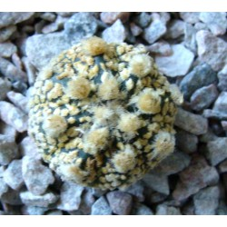 Astrophytum Super Kabuto Gold Big Areola / Галерея