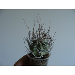Astrophytum capricorne 7 см