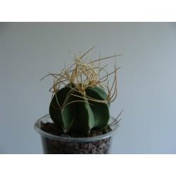 Astrophytum senile aurea
