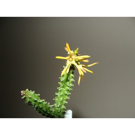 Echidnopsis montana