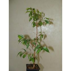 Фикус Ficus benjamina